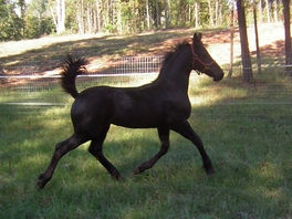 "2008 Filly ""Bella"" (Romeo de Roza x Princess)"